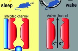 Diagram shows a sleeping and awake mouse with the BK channels.