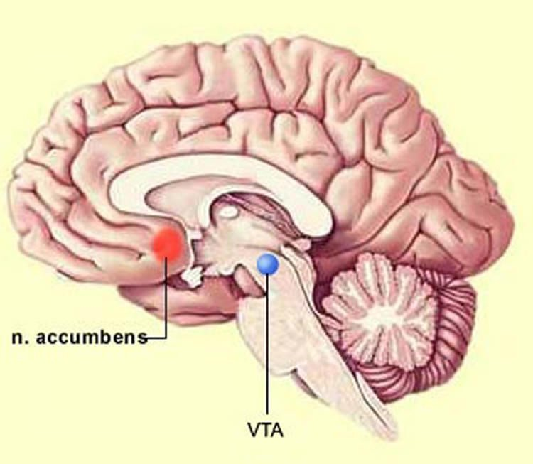 Image shows the location of the VTA in the brain.