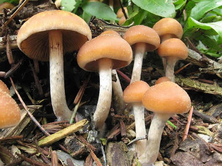 "Image shows a Psilocybe ""cyanofriscosa"" mushroom."