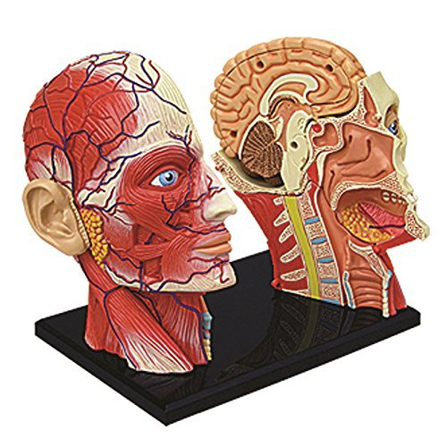 4d Vision Human Head Anatomy Model Neuroscience News