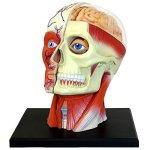 4D-Vision-Human-Head-Anatomy-Model-0