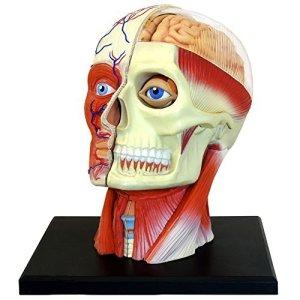 4D-Vision-Human-Head-Anatomy-Model-0