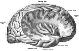 Image shows a brain with a cut away revealing the insula cortex.