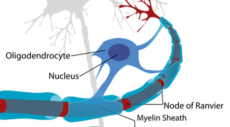 Diagram shows myelin on a neuron.