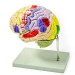 Vision-Scientific-VAB400-Color-Coded-Human-Brain-4-Parts-0
