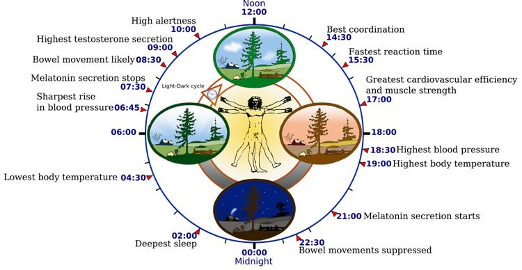 Diagram of the circadian clock.