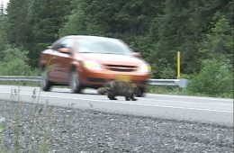 Image shows a car and a porcupine.