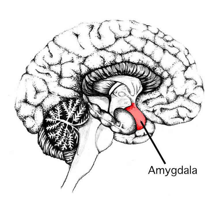 Image shows the location of the amygdala in the human brain.