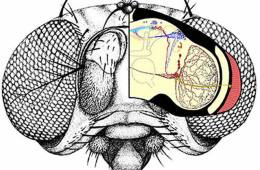 Image shows a drawing for a fruit fly.
