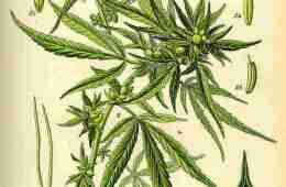 Image shows a drawing of a cannabis plant.
