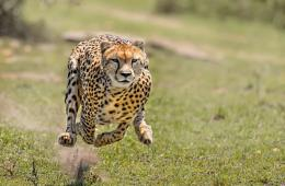 Image shows a cheetah running.