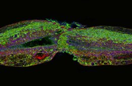 Image shows regenerated spinal cord cells.