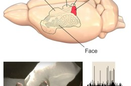 Image shows a rat brain and a rat being tickled.