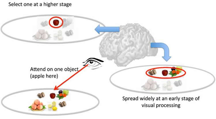 Image shows how the brain processes the visual information.