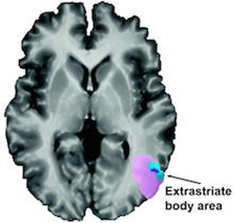 Image shows a brain with the EBA highlighted.