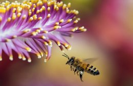 A honeybee on a purple flower.