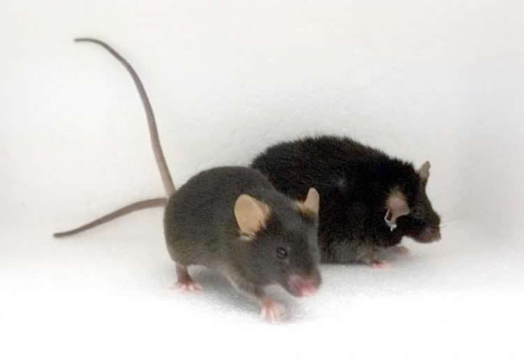 Image shows two mice, one fat and one fit.
