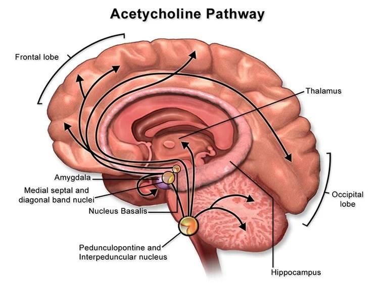 A Brain Wide Chemical Signal That Enhances Memory Neuroscience News