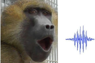Image shows a baboon.