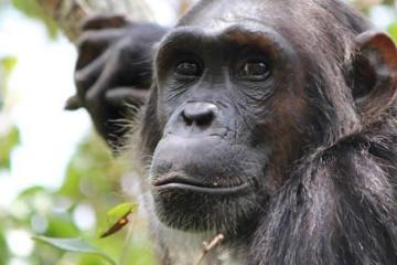 Image shows a female chimp.