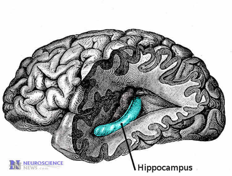 Image shows the location of the hippocampus.