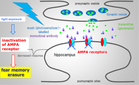 AMPA receptors involvement with a synapse is shown.