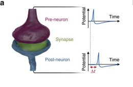 Image shows a synapse.