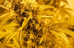 Image shows a cannabis plant.