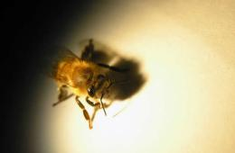 Image shows a honey bee.