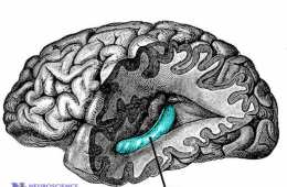 Image shows the location of the hippocampus in the human brain.