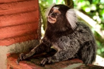 Image shows a marmoset monkey.