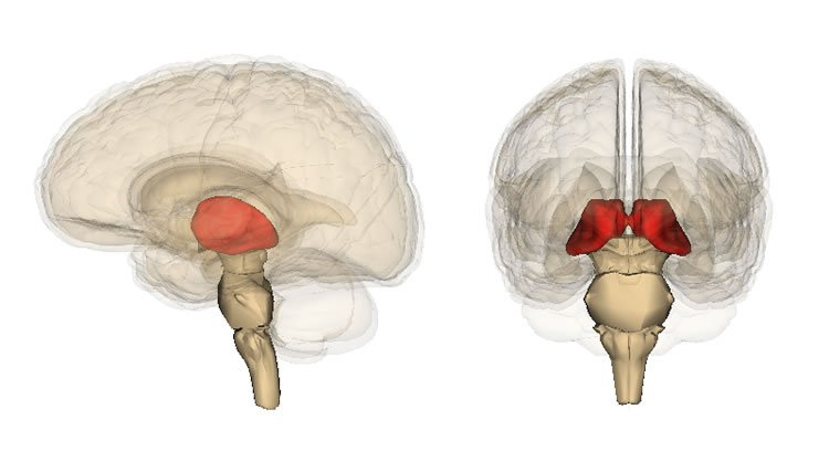 Image shows the location of the thalamus in the brain.
