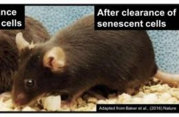 Image shows rats.