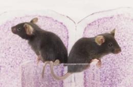 Image shows mice and a prefrontal cortex slice.