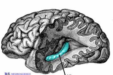 Image shows the location of the hippomcapus in the brain.