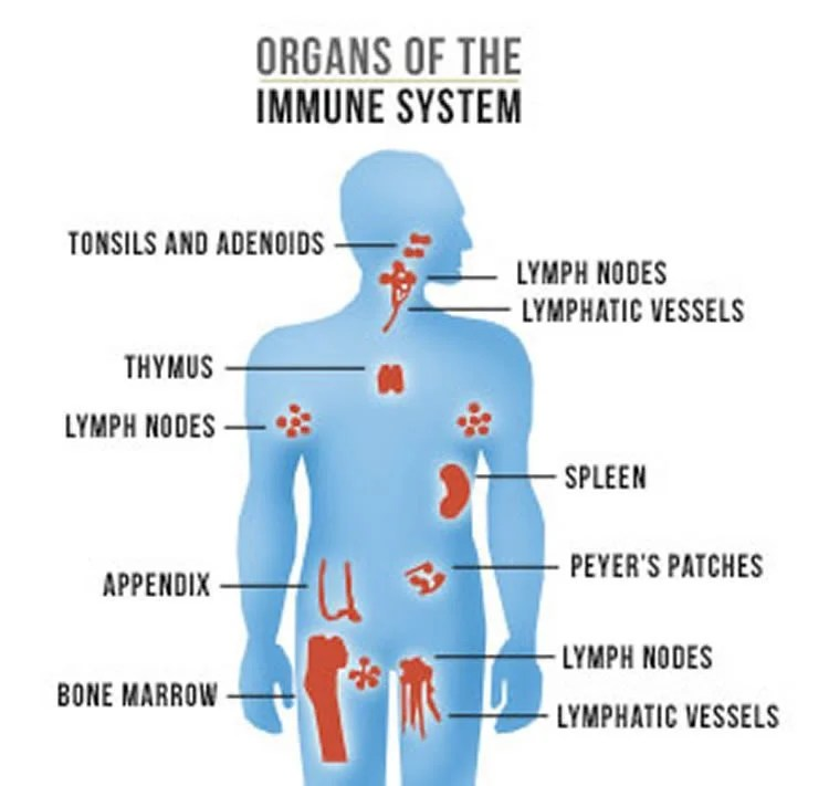Immune System Pictures Image collections - human internal organs diagram