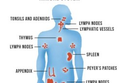 Image shows a diagram of the organs that make up the immune system.