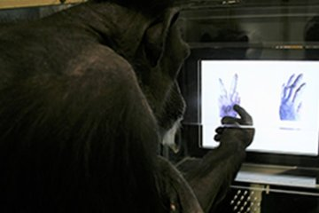 """a paper on the behavior of chimpanzees His publications include """"chimpanzee hunting behavior and human evolution"""" ( american  the present paper was submitted 12 vi 97 and accepted 11 ix 97."""
