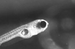 Image shows a zebrafish.