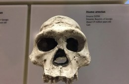 Image shows the skull of Homo erectus.