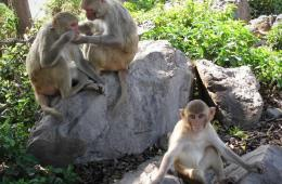 Image shows Rhesus macaques.