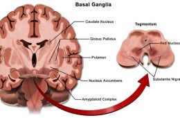 Image shows a diagram of the basal ganglia.