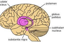 Image shows a diagram of the brain.