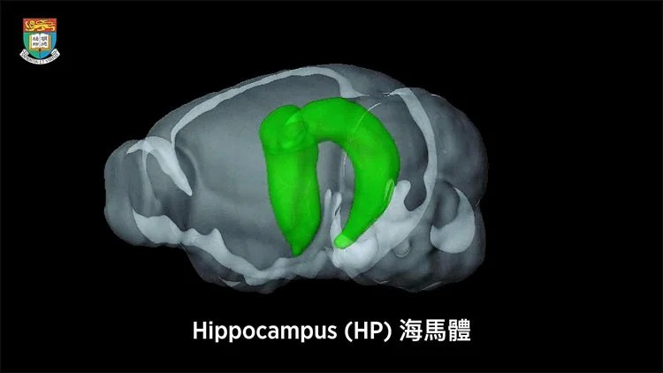 Image shows the location of the hippocampus in the brain.