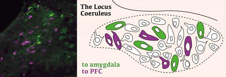 Image shows the locus coeruleus.