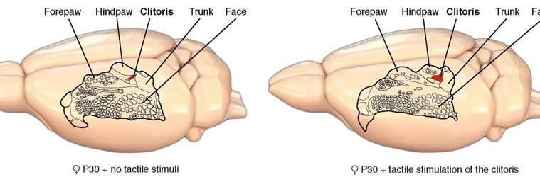 Image shows a diagram of a rat brain homunculus.