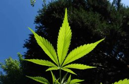 Image shows a marijuana leaf.