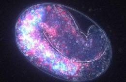 Image shows a C. elegans embryo.
