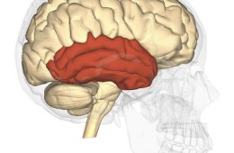 Image shows the location of the temporal lobe.
