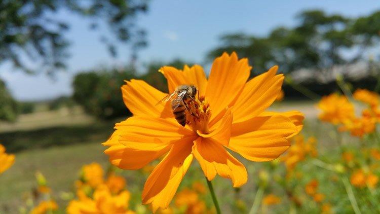 an african bee on a flower